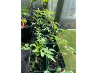 Red Cherry Tomatoes (sweet) and cucumber plants for sale