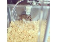 Dwarf Russian Hamster