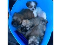 KC reg Lhasa Apso Puppies