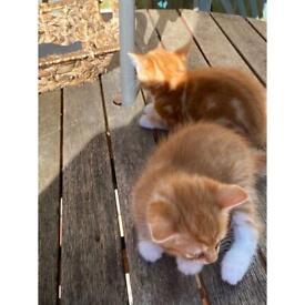 2 ginger kittens