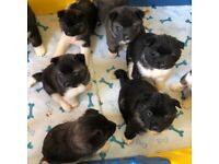 6 GIRLS LEFT - American Akita Puppies for Sale