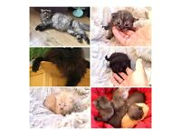 Gorgeous Maine coon kittens taking deposits now!