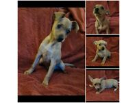 Chihuahua/miniature pincher puppies
