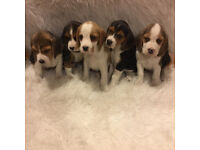 Beagle puppy's ready now