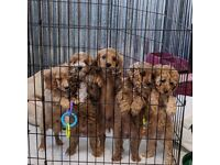 Cavapoo litter ready now