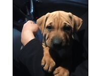 Shar Pei Bull Terrier Cross Puppy