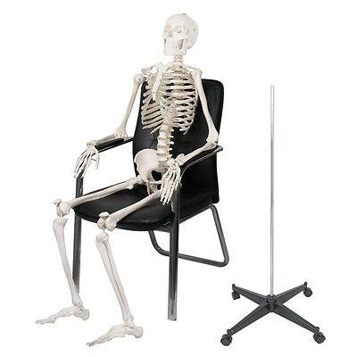 Life Size Human Anatomical Study Anatomy Skeleton Medical Model Stand Kit 180cm