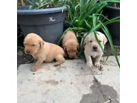 KC registered Labrador Retrievers