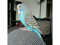 Hand-tame super sweet baby exhibition budgies