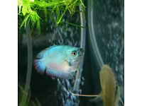 *HOME DELIVERY* Amazing Tropical Fish Molly,Platy,Cory,Tetra,Guppy healthy and colourful
