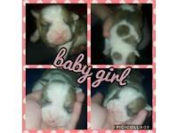 victorian bulldog puppies 3 little boys 1 little lady available vba registered