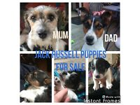 Jack Russell Puppies 2 Boys