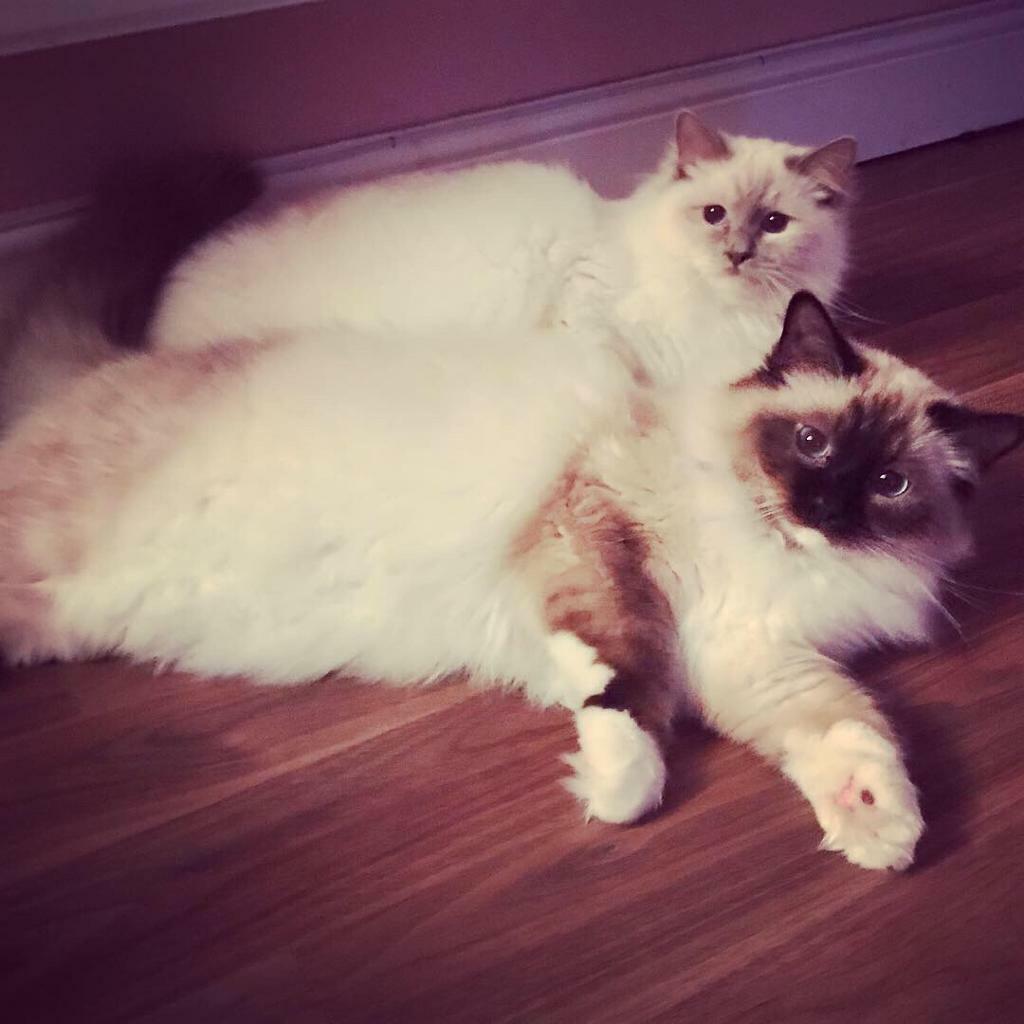 2 Birman Kittens For Sale In Braintree Essex Gumtree