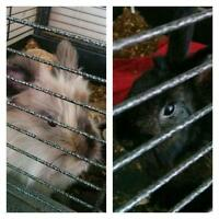 2 beautiful female rabbits in need of a good home