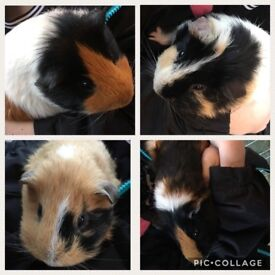 Four Guinea Pigs, Three cages and enclosure - all accessories included.