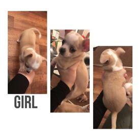 Chug x chihuahua puppies