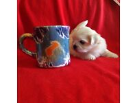 Maltese puppies gorgeous white puppy girl and boy small little dog fluffy