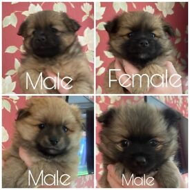 4 Stunning Pomeranian puppies