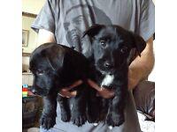 Scottie cross puppy for sale