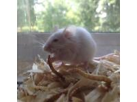 Male mouse for sale