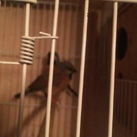 Black Throat Finch for sale