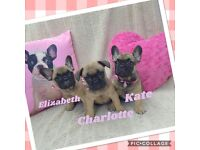 Beautiful Sable Triple Carrier French Bulldogs