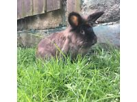 Two bonded rabbits for sale