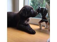 ChocolateLabrador puppies ALL NOW SPOKEN FOR