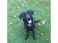 Labrador German Shepherd for Sale