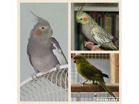 cockatiel parakeet And kakerki