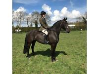 Beautiful friesian x Irish draught type mare