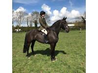 Beautiful friesian x Irish draught type mare