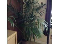 Beautiful fern plant looking for a bigger home