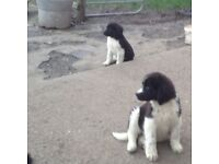 Newfoundland Cross pups
