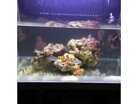 Pair of large clown fish marine