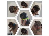 Lilac/Blue and Tan possible Isabella French Bulldog pups