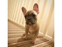 French bulldog last one quad girl only £1800