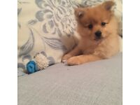 Beautiful Pomeranian Puppies