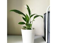 Peace lily (Spathiphyllum Wallisii) baby plants
