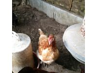 Hens for Sale