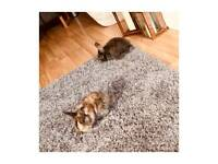 2 GORGEOUS FEMALE RABBITS FOR SALE