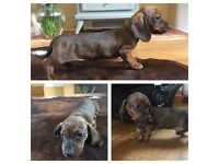 1 Miniature smooth haired dachshund boy left for sale
