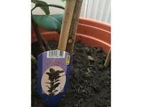 Robusta alias 'Rubber Plant'