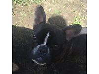 French bulldog boy for sale rehoming