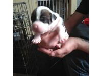 Oldtyme bulldog puppies for sale
