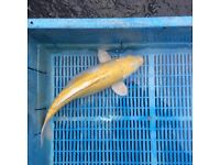 "Koi Carp 5"" upwards for sale"