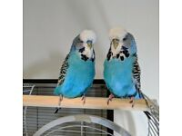Bonded pair of bright blue exhibition budgies, one male, one female