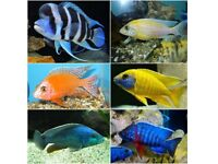 Fish Malawi Mixed African cichlids 1 -1.5 Inch