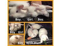 White fluffy blue eyed rabbits, rare breed