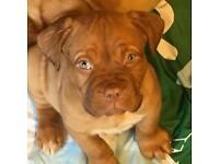 *****Ready Now**** Dogue de Bordeaux Pups